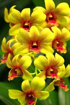 Dendrobium Orchideen - Love Affair With Orchids . Unusual Flowers, All Flowers, Amazing Flowers, Yellow Flowers, Colorful Flowers, Beautiful Flowers, Yellow Orchid, Orchid Flowers, Beautiful Gorgeous