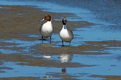 I photographed these two northern pintail ducks at the World Birding Center on South Padre Island, Texas.
