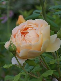 English Roses: Windermere