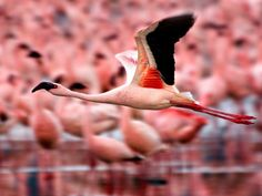 Flamingos, Kenya by Gina Pflegervu    A flamingo is captured in flight at Lake Nakura National Park in Kenya.