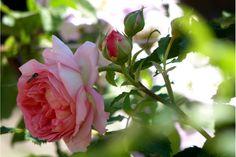 """Jubilee Celebration,David Austin.Smuk farve som er rosa med et gyldent skær, som giver rosen den fineste dybde og karakter, for siden at blive en støvet rosa i fuldt udspring.Jorden hun blev sat i, er en virkelig god blanding af hestemøg, kattegrus og npk-gødning og så vores almindelige sandjord.i Leander familien, rosen har en graciøs vækstform som gør at den """"spreder"""" sig og fylder godt i et bed. Den er sund og modstandsdygtig over for sygdomme.Frugtagtig duft med spor af citron og…"""