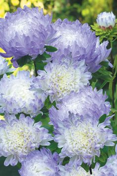 Aster 'Duchess Blue Ice' Beautiful Fall Flowers