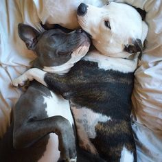 Uplifting So You Want A American Pit Bull Terrier Ideas. Fabulous So You Want A American Pit Bull Terrier Ideas. Cute Puppies, Cute Dogs, Dogs And Puppies, Doggies, Chihuahua Dogs, Pit Bull Puppies, Dogs Pitbull, Perros Pit Bull, American Pit Bull Terrier