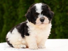 black and white, male Havanese puppy