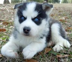 pomeranian puppies with blue eyes   Zoe Fans Blog