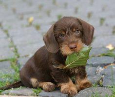 Chocolate wirehaired Dachshund puppy on Gustav's Dachshund World