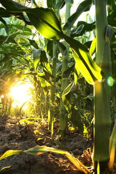 Summer evening on a cornfield Village Photography, Summer Photography, Nature Photography, Country Farm, Country Life, Beautiful Sunset, Nature Pictures, Farm Life, Amazing Nature