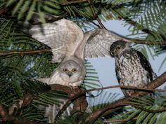 Leucistic & normal Barking Owls