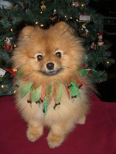 Flint The Pomeranian at Christmas