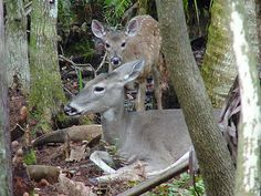 Florida Wildlife...white tailed deer home