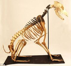 Skeleton of world's oldest sea dog 'Hatch' found on the Mary Rose