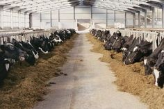 Feed hay, and grain if desired, to all cattle kept through the winter.