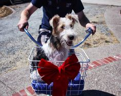 Special delivery. Vintage bicycle. Wire Fox Terrier.