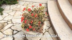 Pelargonium fragans Variegata