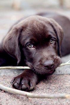 Labrador retriever @KaufmannsPuppy
