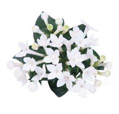 Bouvardia Diamond white