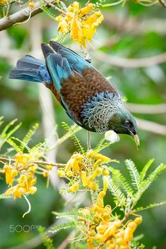 Tui in a Kowhai Tree by Kevin Krippner on 500px Exotic Birds, Colorful Birds, All Birds, Love Birds, Pretty Birds, Beautiful Birds, Tui Bird, Bird Pictures, Bird Watching