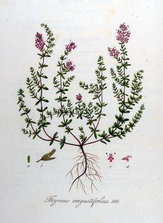 Kleine tijm - Thymus serpyllum