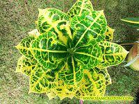 Croton Harmonious hybrid from Siam Croton