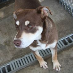 #TX  02/16/14 Reeces  Australian Kelpie • Young • Female • Large  The Humane Society of Deaf Smith County Hereford, TX