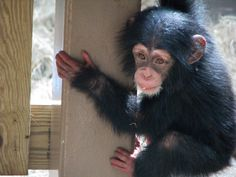 Baby Chimpanzee George - Knoxville Zoo | Flickr - Photo Sharing!