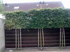 Carpinus betulus (Lei-haagbeuk, leibeuk.Leicarpinus) >> Bij de schutting: zo ziet het er dan uit