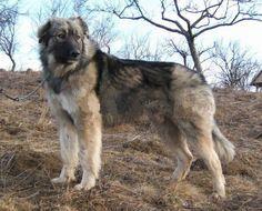 De Ciobanesc Romanesc Carpatin is een ras dat afkomstig is uit Roemenië. De volwassen reu wordt ongeveer 69 cm groot, de volwassen teef tot maximaal 63 cm. Het hondenras is zeer geschikt als waakhond, maar ook als herdershond. Het zijn zeer lieve honden, het eigen gezin houden ze goed in de gaten en beschermen zij ook goed. Vreemde mensen kunnen ze wat op afstand houden.