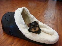teacup Yorkshire terrier pups te koop #yorkshireterrier