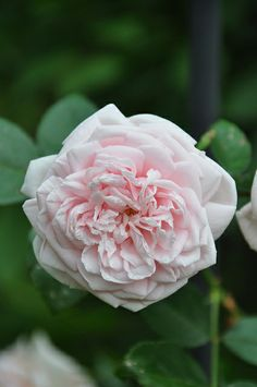 Rosa 'Awakening' (discovered in Czechoslovakia, 1935)