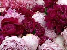 peonies-1 | Signs and Sirens