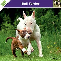 Calendrier chien 2017 - Race Bull Terrier - Affixe Edition