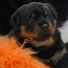 My Monte' ..my adorable rotty puppy