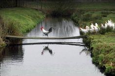 Brave cock leading his hens across the plank.