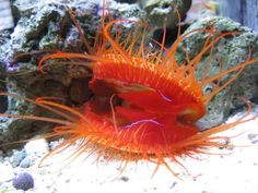 The Disco Scallop, other times referred to as the Electric Flame Scallop (Ctenoides ales) is known for the incredible light show it puts on. Saltwater Aquarium Fish, Saltwater Tank, Reef Aquarium, Weird Creatures, Sea Creatures, Cute Small Animals, Life Under The Sea, Marine Aquarium, Beautiful Fish