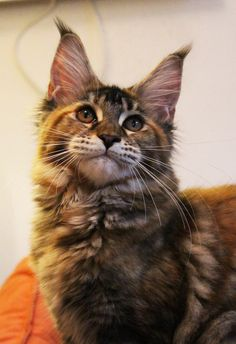 Maine Coon girl Estelle - 6 months old on the photo