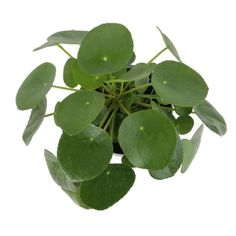Costa Farms Pilea Peperomioides Sharing Plant in 6 in. Contemporary Planter-6PILEACONTEMP - The Home Depot Small Indoor Plants, Contemporary Planters, Chinese Money Plant, Miniature Trees, Spring Blossom, Leaf Shapes, Home Decor Styles, Midcentury Modern, Houseplants