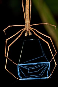 NET CASTING SPIDER (Deinopsis subrufa) - Deinopsis are unique amongst arachnids in their predatory methods. They remain suspended above branches or tree trunks with their trapezoidal webs stretched between their four front legs.