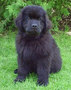 """A """"gentle giant"""", amazing swimmer. Originating in Canada. If I had lots of space & money I would have a Newfie dog! Huge Dogs, I Love Dogs, Cute Puppies, Dogs And Puppies, Baby Animals, Cute Animals, Newfoundland Puppies, Purebred Dogs, Puppy Pictures"""