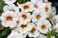 Calibrachoa Catwalk™ Antique White
