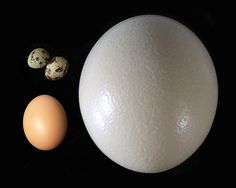 strich egg (right), compared to chicken egg (lower left) and quail eggs (upper left).