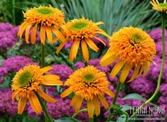 Echinacea 'Secret Glow' - 'Secret Glow' is precisely school bus yellow, nothing less. It stands out in a crowd for its unusual color as well as its unusually high flower count, averaging 35 large flowers per plant, the first year! Matching perfectly with the rest of the Secret™ Series, 'Secret Glow' is a very welcome addition to the series.