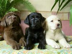 I'll take all three. There is nothing like a Labrador puppy!