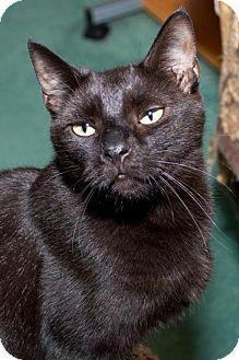 Philadelphia, PA - Domestic Shorthair. Meet Mercy, a cat for adoption. http://www.adoptapet.com/pet/9457868-philadelphia-pennsylvania-cat
