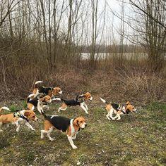 Beagle Cuteness Overload Beagle Hunting Beagle Hunting Dogs