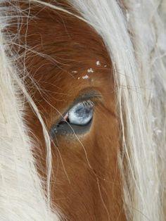 Palomino horse's blue eye