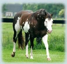 Aqha horses stallions
