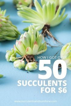 Find out what to look for to get the best deal when buying succulents!