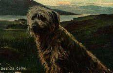 Bearded Collie Post Card 1