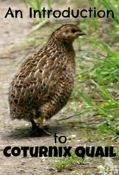 There are several varieties of quail available, but Coturnix Quail are one of the most popular choices. The most common reasons for keeping them is for eggs and meat. Raising Quail, Raising Farm Animals, Raising Chickens, Baby Chickens, Urban Chickens, Backyard Farming, Chickens Backyard, Backyard Ideas, Quail Coop