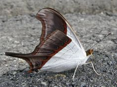Scientific name (Nombre Científico): Marpesia zerynthia – Waiter Daggerwing Also named Marpesia coresia in some publications. Range: From central Mexico south to Brazil. A rare stray in southern Texas In Colombia from 400 to 2.600 masl. Forewing 33-37 mm